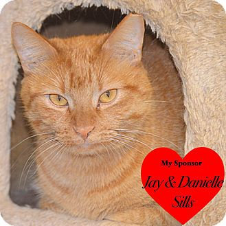 Domestic Shorthair Cat for adoption in San Leon, Texas - Billy