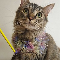 Domestic Mediumhair Cat for adoption in Knoxville, Tennessee - Lolo