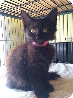 Domestic Mediumhair Kitten for adoption in Trenton, New Jersey - Venus