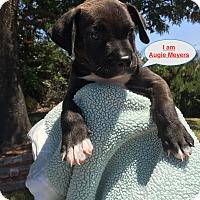 Adopt A Pet :: Augie Meyers says I hear music - Corona, CA
