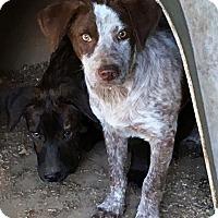 Adopt A Pet :: Alec - gorgeous dog! - Chicago, IL