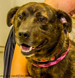 Australian Cattle Dog Mix Dog for adoption in Martinsville, Indiana - Buford