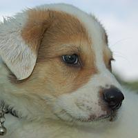 Adopt A Pet :: LUPO - Lebanon, TN