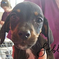 Adopt A Pet :: Sable - Joliet, IL
