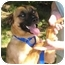 Photo 1 - Husky/Shepherd (Unknown Type) Mix Dog for adoption in Windham, New Hampshire - Zach