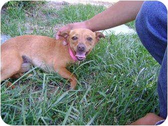 Chihuahua Mix Dog for adoption in Los Angeles, California - Sugar