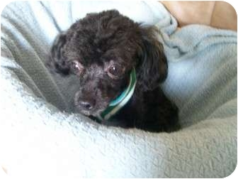 Toy Poodle Mix Dog for adoption in Essex Junction, Vermont - Monti