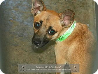 Chihuahua/Black Mouth Cur Mix Puppy for adoption in Gilbert, Arizona - Hope