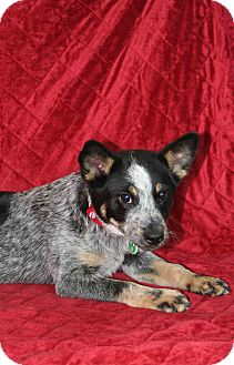Australian Cattle Dog Mix Puppy for adoption in Westminster, Colorado - Chimney