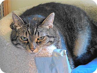 American Shorthair Cat for adoption in Victor, New York - Ellie