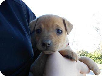German Shepherd Dog Mix Puppy for adoption in Atascadero, California - Taylor