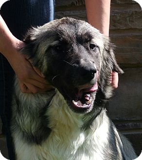 Great Pyrenees/German Shepherd Dog Mix Dog for adoption in white settlment, Texas - Kamila