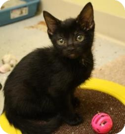 Domestic Shorthair Kitten for adoption in West Des Moines, Iowa - Bear
