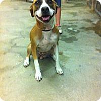 Adopt A Pet :: Aziza - Peru, IN