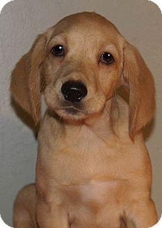 Labrador Retriever Mix Puppy for adoption in Staunton, Virginia - Parker