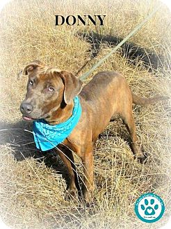Weimaraner/Labrador Retriever Mix Dog for adoption in Kimberton, Pennsylvania - Donny