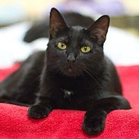 Domestic Shorthair Cat for adoption in Grayslake, Illinois - Merek