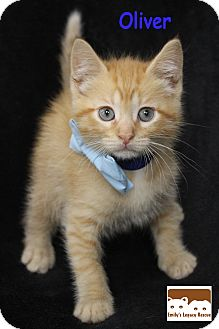 Domestic Shorthair Kitten for adoption in Wichita Falls, Texas - Oliver