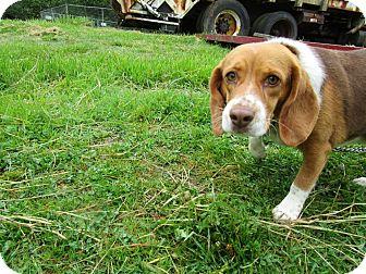 Beagle Dog for adoption in Tillamook, Oregon - Lucy