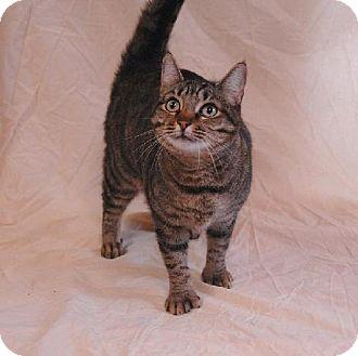Domestic Shorthair Cat for adoption in Fort Walton Beach, Florida - Sander
