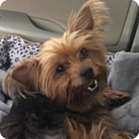 Adopt A Pet :: Bailey - Lancaster, TX