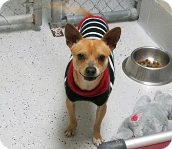 Chihuahua Mix Dog for adoption in Burgaw, North Carolina - Squeaky