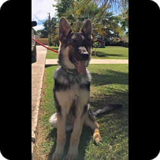 German Shepherd Dog Puppy for adoption in Houston, Texas - Keegan - Adoption Pending