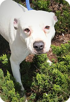 American Bulldog Mix Dog for adoption in Wilmington, North Carolina - Cindy