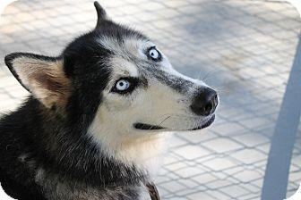 Siberian Husky Dog for adoption in Atmore, Alabama - Nala