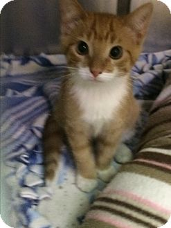 Domestic Shorthair Kitten for adoption in Richboro, Pennsylvania - Puss N Boots