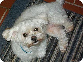Maltese Dog for adoption in DeLand, Florida - Toodles
