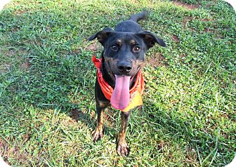Rottweiler Mix Dog for adoption in Lexington, North Carolina - GUNTER