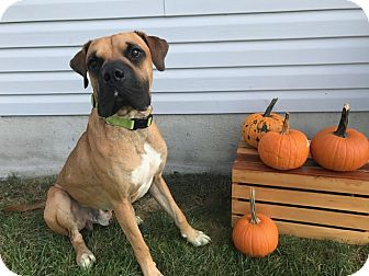 Boxer/Mastiff Mix Dog for adoption in New Oxford, Pennsylvania - Hercules