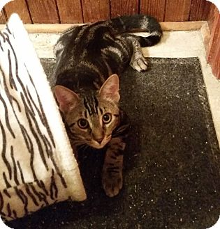 Domestic Shorthair Kitten for adoption in Woodstock, Ontario - Sven
