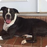 Adopt A Pet :: Bella Claire - Boston, MA