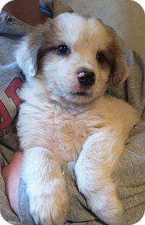 Australian Shepherd Mix Puppy for adoption in SOUTHINGTON, Connecticut - Drew