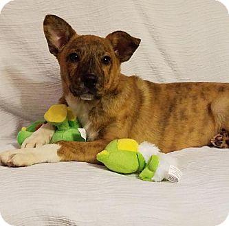 Dutch Shepherd Mix Puppy for adoption in Elkton, Maryland - Cali