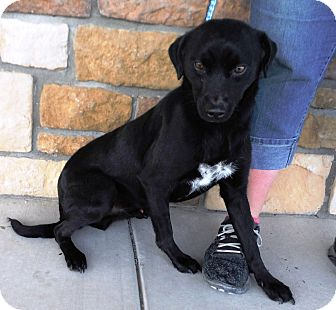 Labrador Retriever Mix Dog for adoption in Artesia, New Mexico - Diesel