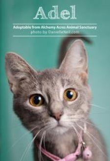 Domestic Shorthair/Bombay Mix Cat for adoption in Salem, Ohio - Adel