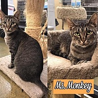 Adopt A Pet :: Ms. Monkey170540 - Atlanta, GA