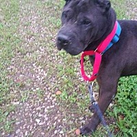 Adopt A Pet :: Zeus - Foristell, MO