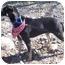Photo 2 - Labrador Retriever/Doberman Pinscher Mix Dog for adoption in Sacramento, California - Daphne BEST DOG