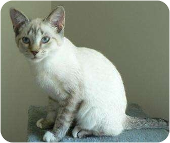 Siamese Cat for adoption in Hendersonville, Tennessee - Kimo
