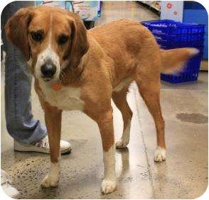 Hound (Unknown Type) Mix Dog for adoption in High View, West Virginia - Chief