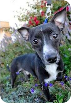 Jack Russell Terrier Mix Dog for adoption in Berkeley, California - Jonathan