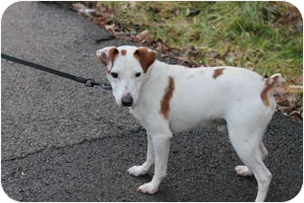 Jack Russell Terrier Mix Dog for adoption in Londonderry, New Hampshire - Bing-PENDING