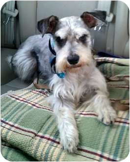 Schnauzer (Miniature)/Terrier (Unknown Type, Small) Mix Dog for adoption in Pasadena, California - THELMA (and Louise)