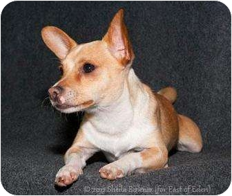 Chihuahua Mix Dog for adoption in Tracy, California - Chachi-ADOPTED!