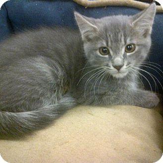 Domestic Shorthair Kitten for adoption in Toronto, Ontario - Jeckle