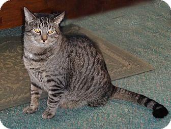 Domestic Shorthair Cat for adoption in N. Billerica, Massachusetts - Wednesday